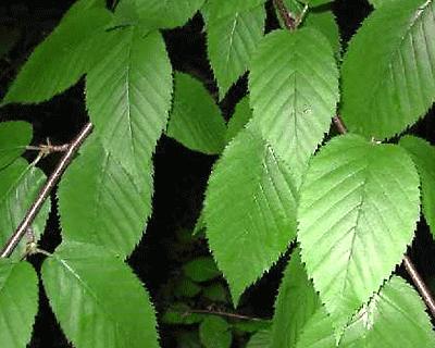 Berkenblad