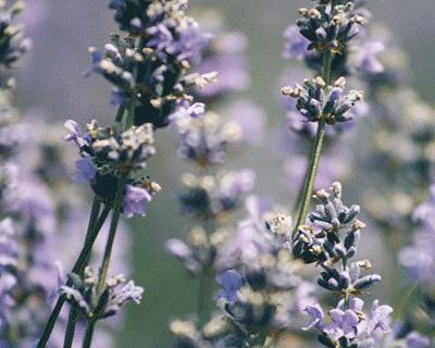 Lavendel bloempjes